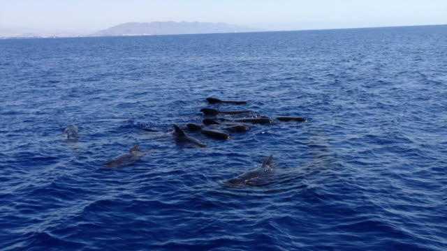 pilot whales - whale watching stock videos & royalty-free footage