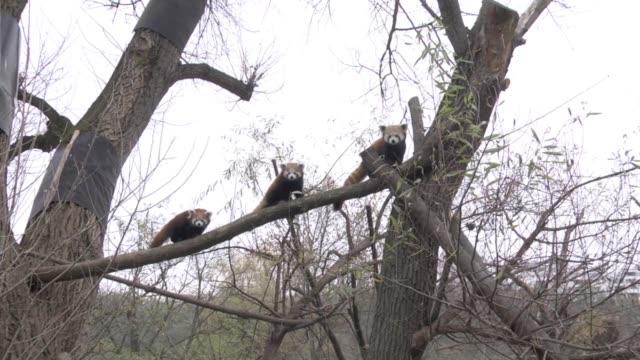 stockvideo's en b-roll-footage met pim y pam son una pareja de pandas rojos gemelos nacidos en el zoo de bratislava - dier in gevangenschap