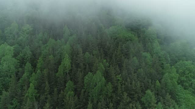 pinaceae forest surrounded with a mysterious fog - pinaceae stock videos & royalty-free footage