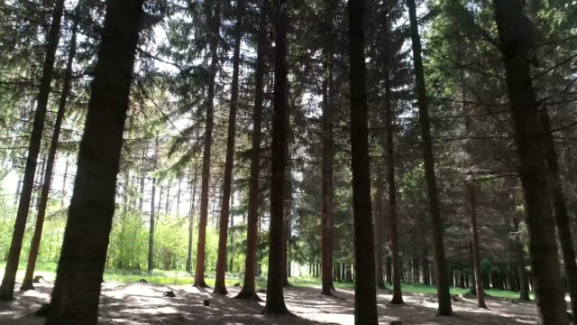 pinaceae tree forest - pinaceae stock videos & royalty-free footage