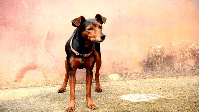 pincher dog - pinching stock videos & royalty-free footage