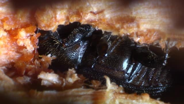 Pine beetle bores through wood.