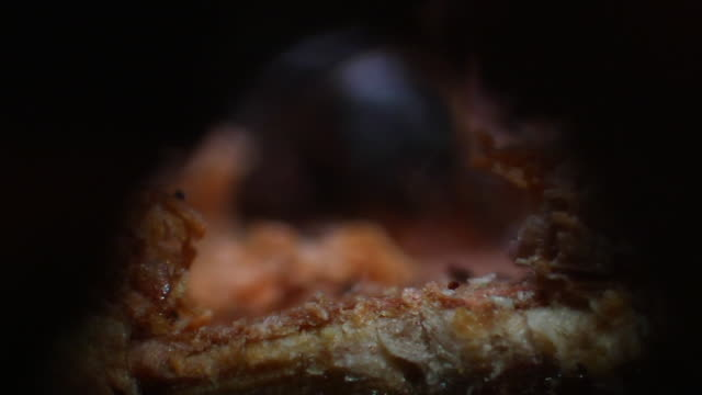 pine beetle crawls through hollowed out stem. - pine stock videos & royalty-free footage