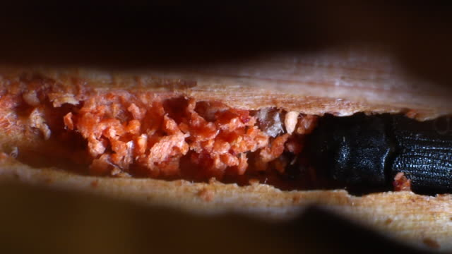 pine beetle crawls through hollowed out stem. - plant bark stock videos & royalty-free footage