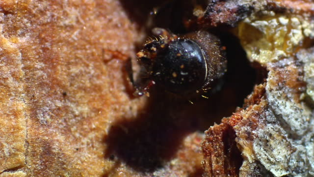 Pine beetle emerges from bark.