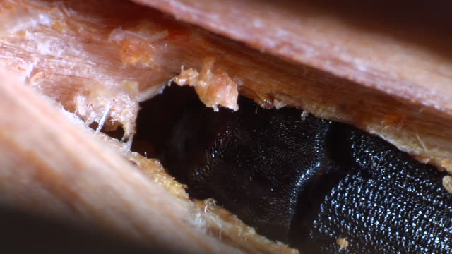 Pine beetle hollows out twig