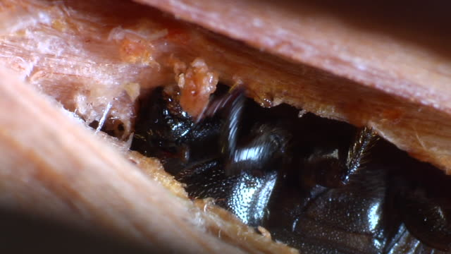 pine beetle hollows out twig - plant bark stock videos and b-roll footage