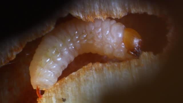 pine beetle larva in channel inside stem. - pine stock videos & royalty-free footage