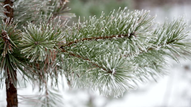Pine branches in the frost day