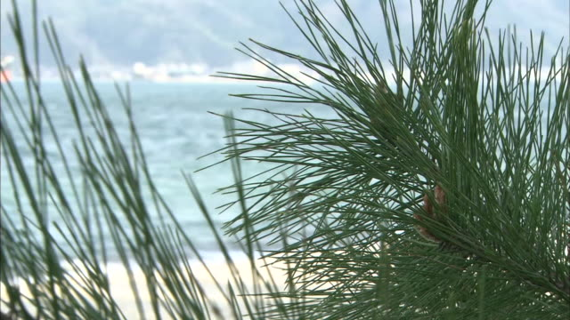 pine branches with cones - nadelbaum stock-videos und b-roll-filmmaterial