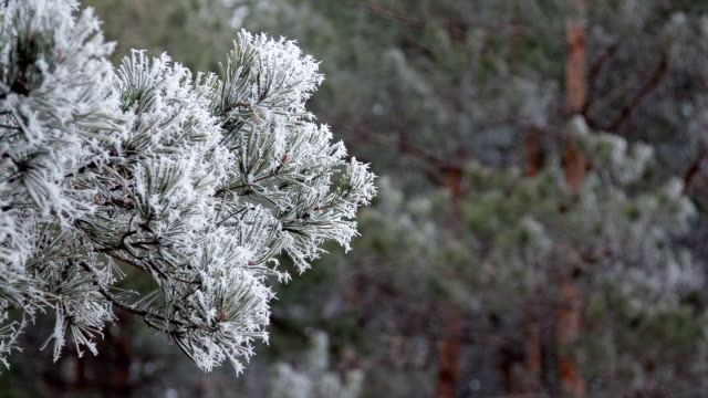 Pine branches with hoarfrost