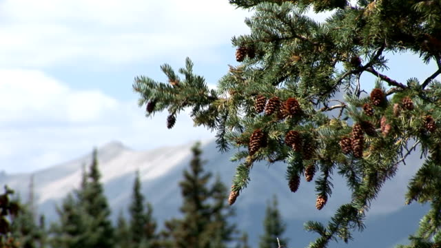 Pine cone and mountain blur