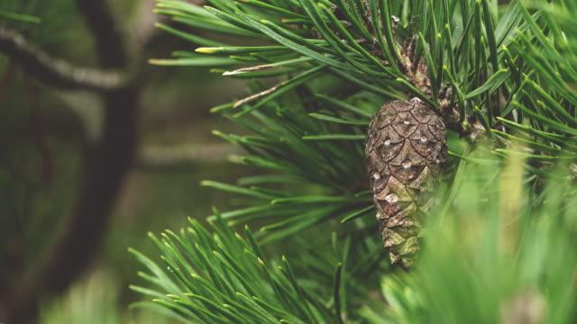 円錐形の松や針をクローズ アップ - パインコーン点の映像素材/bロール