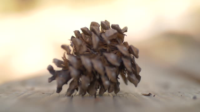 Pine Cone Falling in Slow Motion