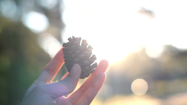 pine cone in woman hand, sunset - pine tree stock videos & royalty-free footage
