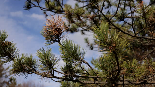 a pine cone on a pine branch - spruce stock videos & royalty-free footage