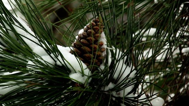 vídeos de stock e filmes b-roll de pinha - pinaceae