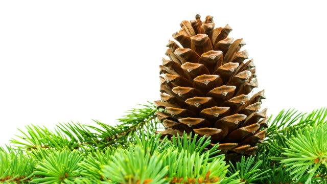 pine cone - twig stock videos & royalty-free footage
