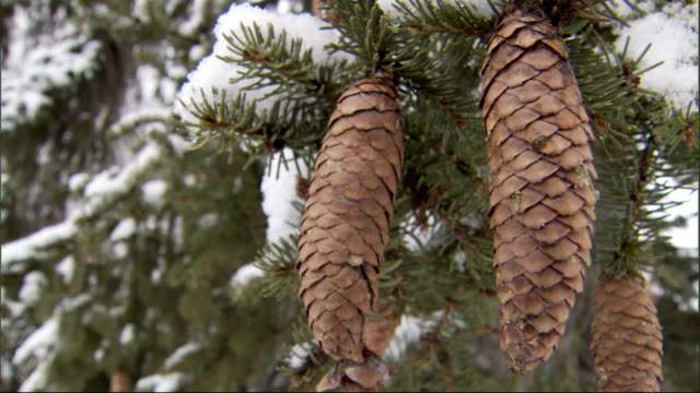pine cones hang from snow-covered branches. available in hd. - tallkotte bildbanksvideor och videomaterial från bakom kulisserna