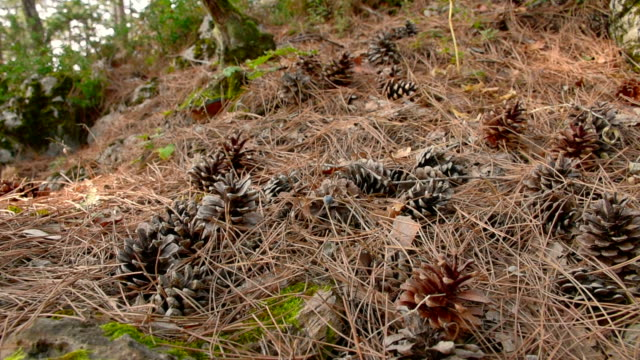 pine cones, needles in woodland - pine woodland stock videos & royalty-free footage