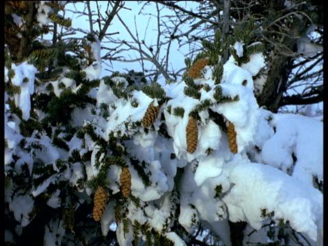 vídeos y material grabado en eventos de stock de pine cones on conifer branches laden with snow, churchill - piña de piñones