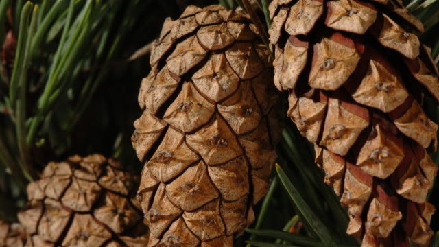 t/l pine cones opening, close up, united kingdom - pinecone stock videos & royalty-free footage