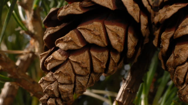 t/l pine cones opening, low angle, united kingdom - pinecone stock videos & royalty-free footage