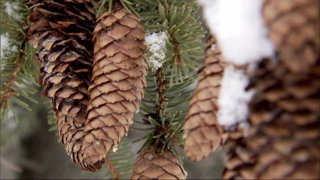 pine cones sway on snow-covered branches. available in hd. - pine cone stock videos and b-roll footage