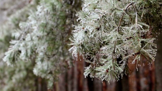 pine covered by ice. - icicle stock videos and b-roll footage