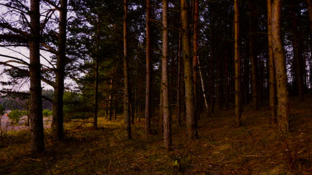 pine forest at dawn