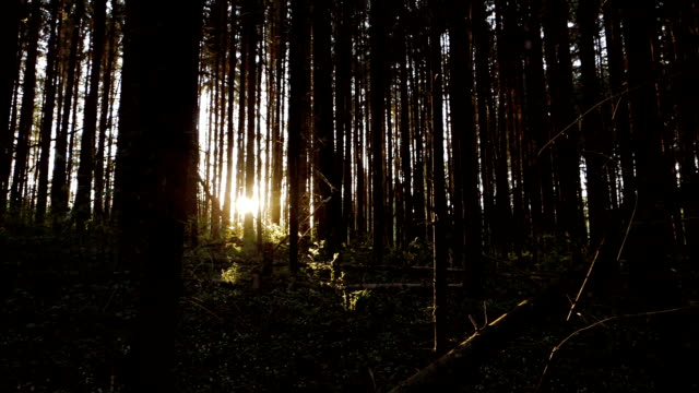 Pine forest at sunset