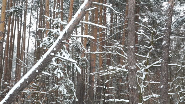 pine forest during a snowfall. - fallen tree stock videos and b-roll footage