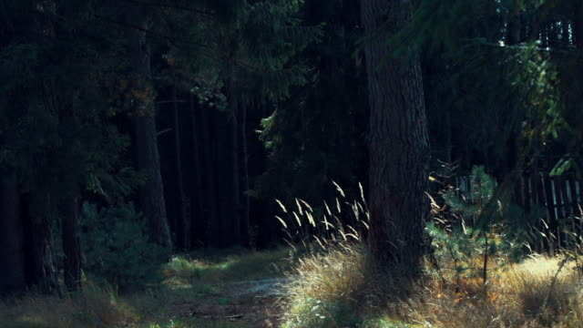 pine forest edge - coniferous stock videos & royalty-free footage