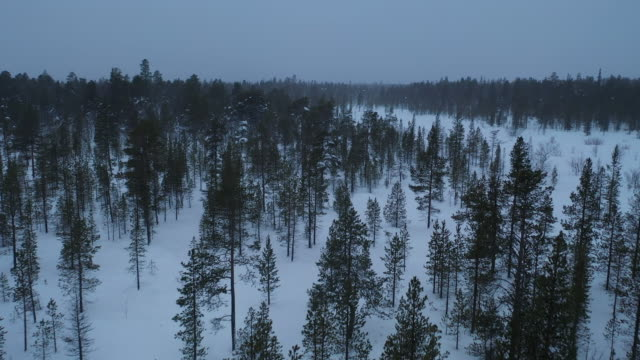 pine forest in snowing winter season aerial view - coniferous stock videos & royalty-free footage