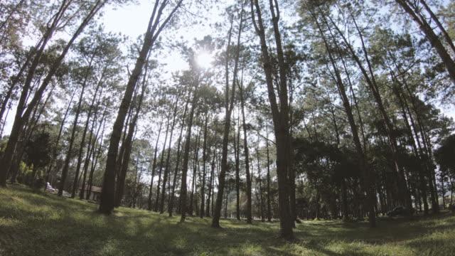 vídeos de stock, filmes e b-roll de floresta de pinheiros - pinhal