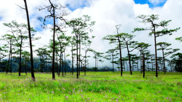 Pine forest with grass field and sunlight in Phu soi dao National Park, Thailand.