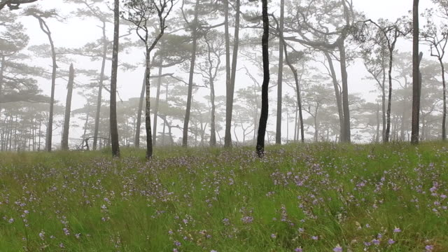 pine forest with mist and wildflowers field - pine stock videos & royalty-free footage