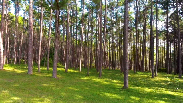 Pine Forest with Morning Sunlight, Thailand