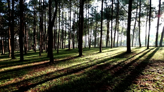 pine forest with sunrise - evergreen stock videos & royalty-free footage