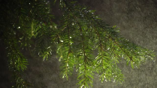 Pine in the foggy woods with drop of rain magical atmosphere