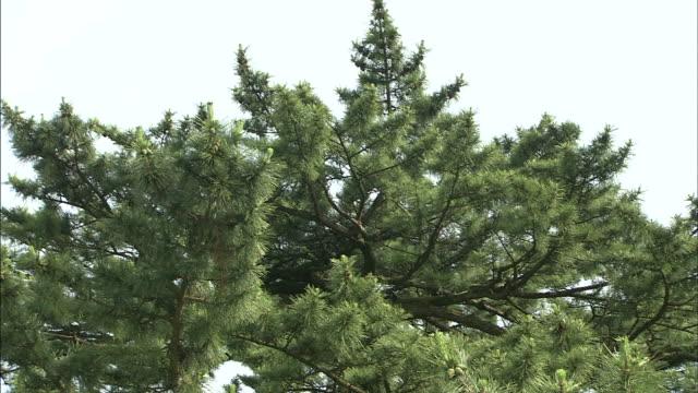 Pine leaves   Medium shot   Tilt down