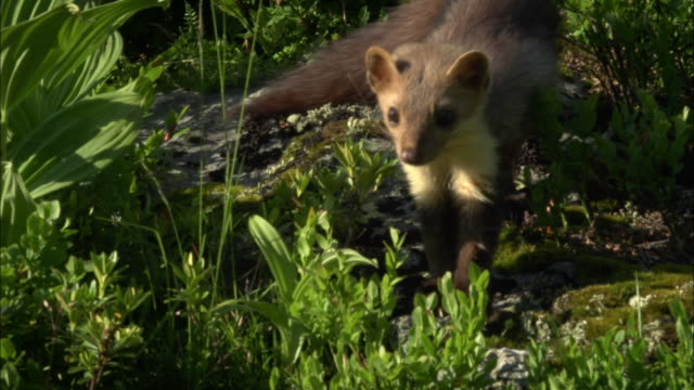 pine marten chasing mouse