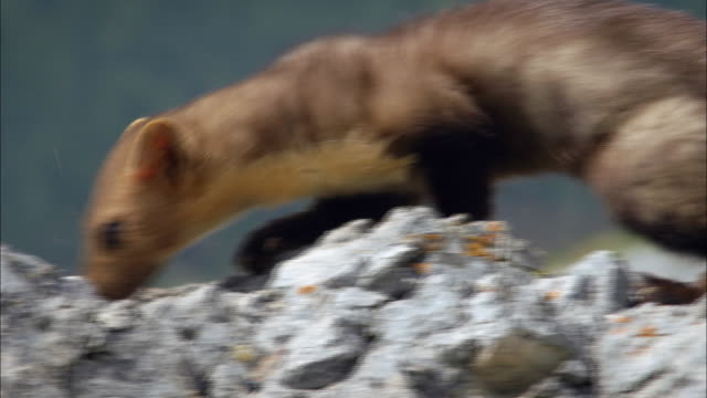 pine marten climbing on a lime rock - kreidefelsen stock-videos und b-roll-filmmaterial