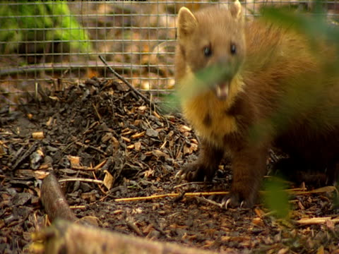 A pine marten feeds on the grounds at the Wildwood Centre in Kent.