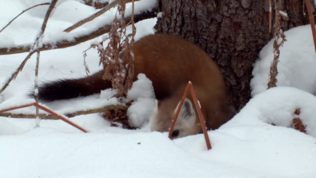 ms zo tu ts pine marten hunting beside tree at algonquin park  / whitney, ontario, canada - hd format stock videos & royalty-free footage