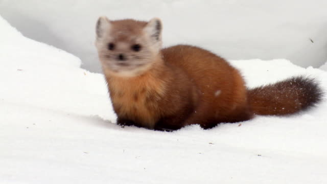 ms pan pine marten looking around at algonquin park during winter  / whitney, ontario, canada - hd format stock videos & royalty-free footage