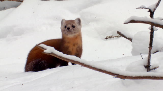 ms ts pine marten looking around at algonquin park during winter  / whitney, ontario, canada - hd format stock videos & royalty-free footage