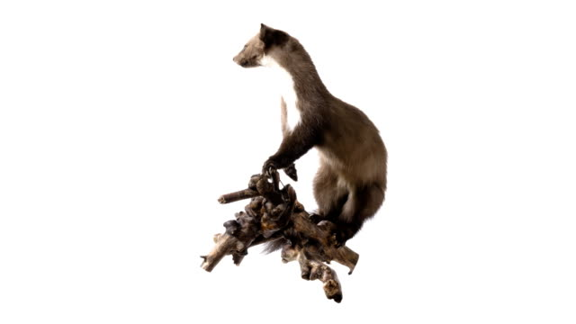 pine marten - stuffed stock videos & royalty-free footage