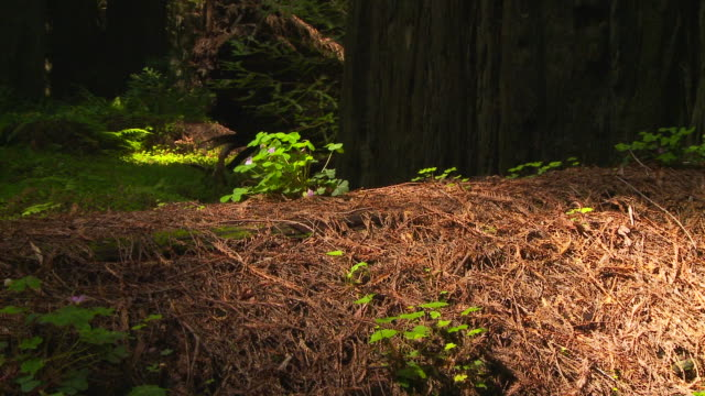 Pine needle ground cover in redwood forest