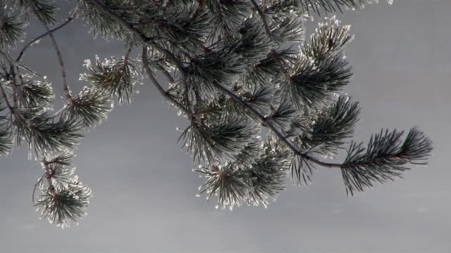 pine needles covered with snow and frost, yellowstone national park, wyoming, in winter - 針状葉点の映像素材/bロール